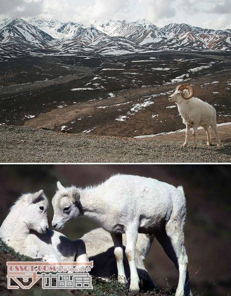 北极熊_盘点北极十大纯白野生动物_排名_长沙社区通