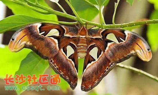 这只罕见的保护动物,触角呈羽状