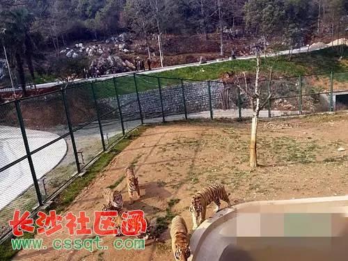 胆真大!江西景德镇野生动物园 有人带人翻山逃票看老虎