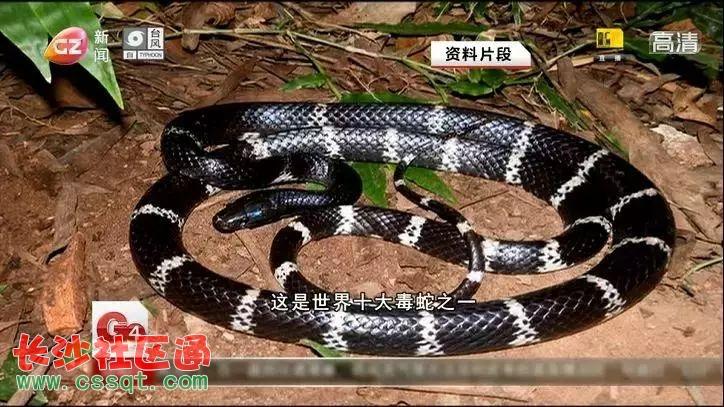 第三医院和女孩儿家属四处打听后,联系到上海一家药厂有银环蛇的血清