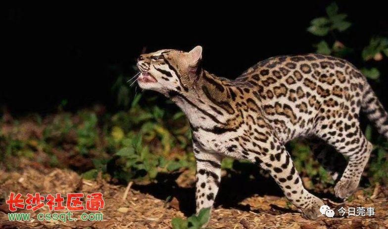 亚洲豹猫_豹狸,别名铜钱猫,石虎等,亚洲的猫科动物,豹猫的体型略大于家猫,但各